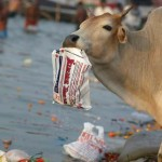 cow-in-india